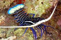 Blue-spiny_lobster