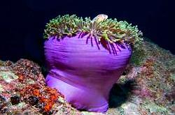 Magnificent_anemone