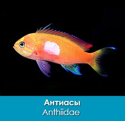 antiasy_anthiidae_importfish