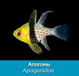 apogony_apogonovye_apogonidae_importfish
