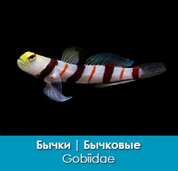 bychki_bychkovye_gobiidae_importfish