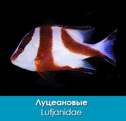 luceanovye_morskie-okuni_lutjanidae_importfish