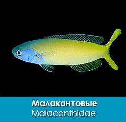 malakantovye_malacanthidae_importfish