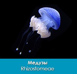 meduzy_rhizostomeae_importfish