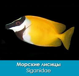 morskie-lisicy_sigany_siganidae_importfish