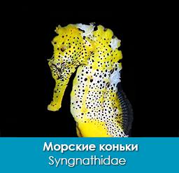 morskie_konki_syngnathidae_importfish