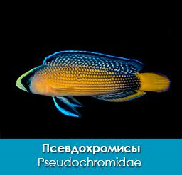 psevdoxromisy_pseudochromidae_importfish