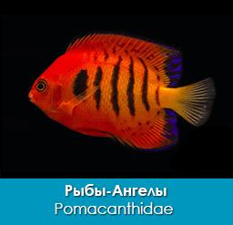 ryby-angely_pomakantovye_pomacanthidae_importfish