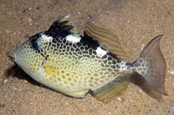 abalistes-stellatus_importfish