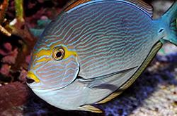 acanthurus-mata_importfish