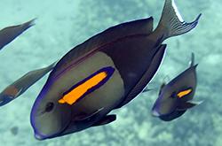acanthurus-olivaceus_importfish