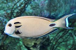 acanthurus-tennentii_importfish