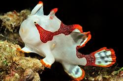 antennarius-maculatus_importfish