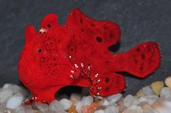 antennarius-biocellatus_importfish