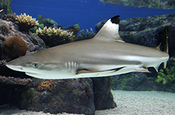 carcharhinus-melanopterus_importfish
