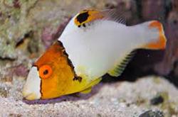 cetoscarus-bicolor_importfish