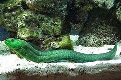 green-wolf-eel_importfish