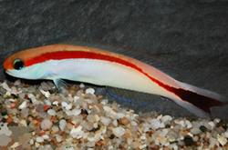 hoplolatilus-marcosi_importfish