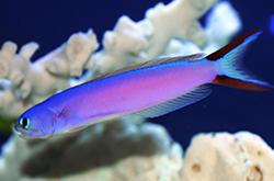 hoplolatilus-purpureus_importfish