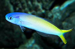 hoplolatilus-starcki_importfish