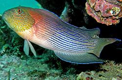 labracinus-lineatus_importfish