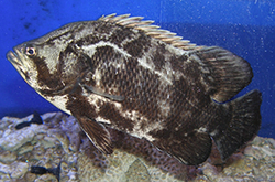 lobotes-surinamensis_importfish