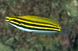 meiacanthus-lineatus_importfish