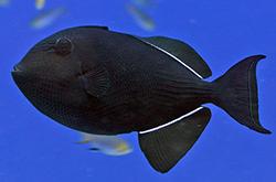 melichthys-niger_importfish