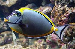 naso-lituratus_importfish