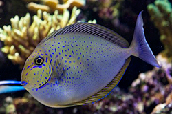 naso-lopezi_importfish2