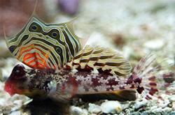 neosynchiropus-ocellatus_importfish