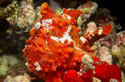 orange-frogfish-orange_importfish