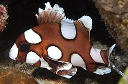plectorhinchus-chaetodonoides_importfish