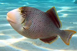 pseudobalistes-flavimarginatus_importfish