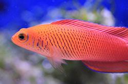pseudochromis-mccullochi_importfish