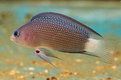 pseudochromis-polynemus_importfish