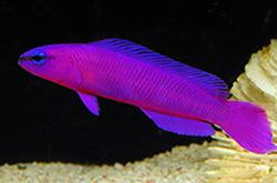 pseudochromis-porphyreus_importfish