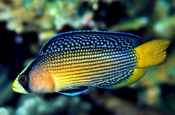pseudochromis-splendens_importfish