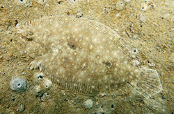 pseudorhombus-sp_importfish