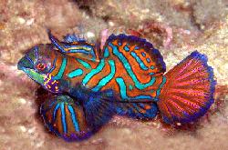 pterosynchiropus-splendidus-var_importfish