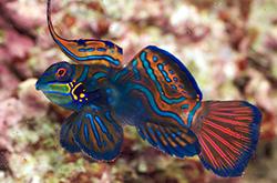 pterosynchiropus-splendidus_importfish