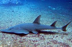 rhinobatus-armatus_importfish