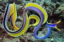 rhinomuraena-quaesita_importfish