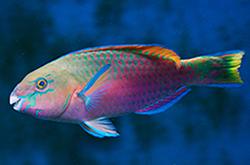 scarus-quoyi_importfish