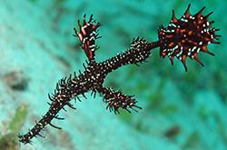solenostomus-paegnius_importfish