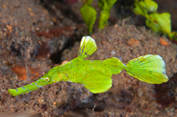 solenostomus-sp_importfish