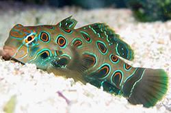 synchiropus-picturatus_importfish