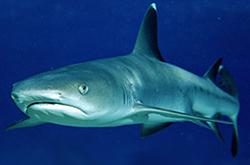 triaenodon-obesus_importfish