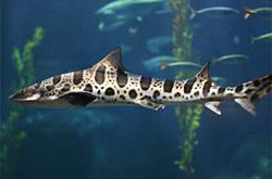 triakis-semifasciatus_importfish