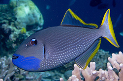 xanthichthys-auromarginatus_importfish